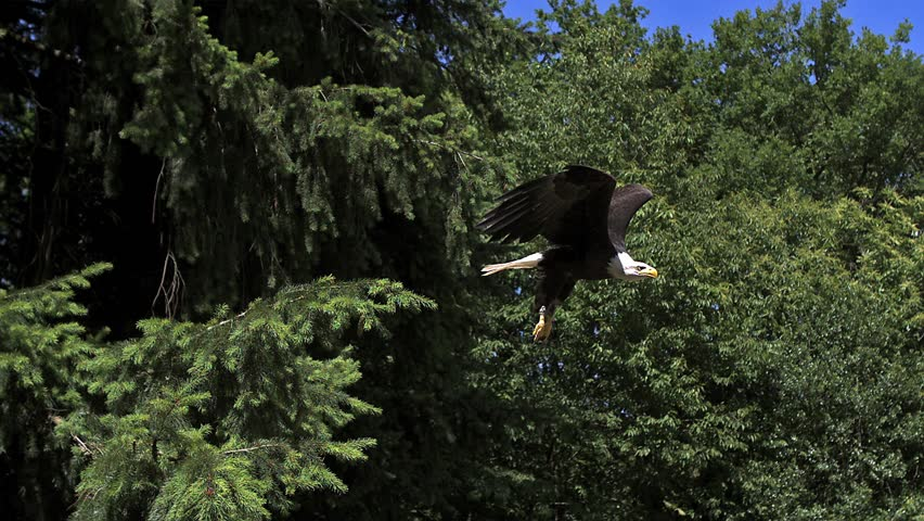 Bald Eagle, haliaeetus leucocephalus, Adult in Flight, Taking off from Branch, Slow Motion