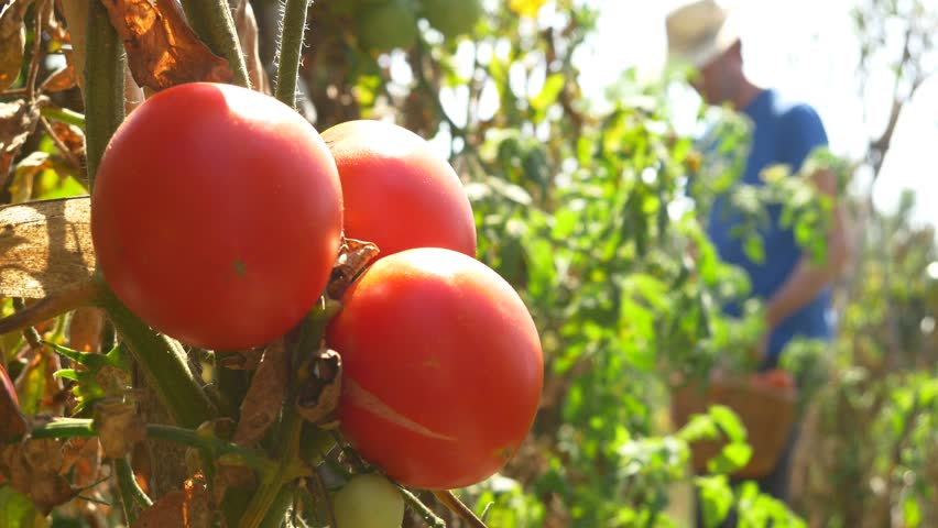 Gardener Picking Tomato In Vegetable Garden Farmer Harvesting Of Tomatoes organic 4k ecological chemical free farming no GMO non genetically modified vegetables mature red