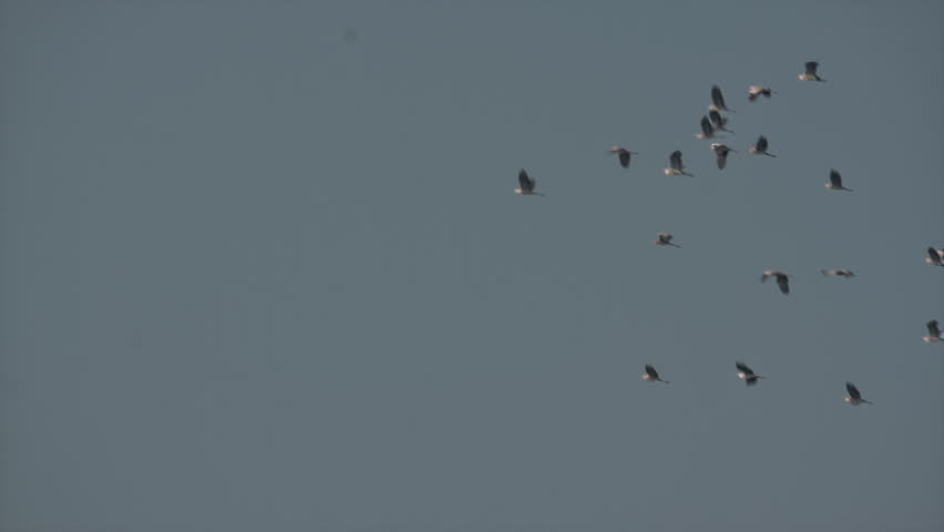 Autumn migration time. Grey Heron (Ardea cinerea) in the sky. A flock of migrating birds, searching for suitable roosting place. | Shutterstock HD Video #19867939