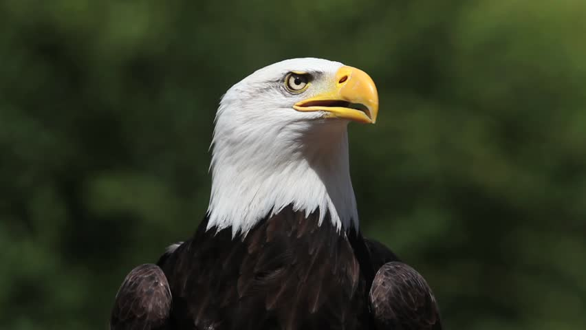 Bald Eagle, haliaeetus leucocephalus, Portrait of Adult looking around, Calling and Taking off, Real Time