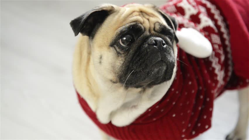 Dog of breed a pug in a reindeer suit. The clever animal looks in the camera sad eyes. Merry Christmas. Happy New Year. | Shutterstock HD Video #19931236
