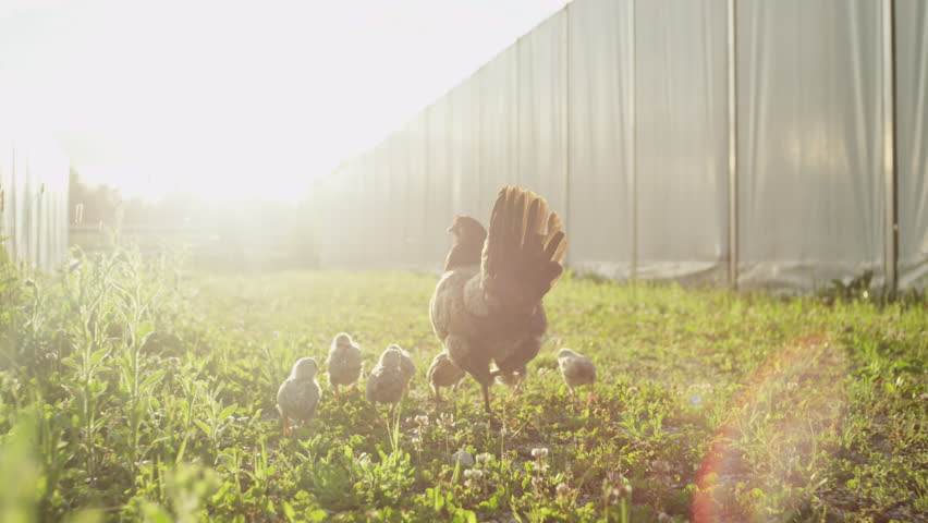 SLOW MOTION CLOSE UP DOF: Caring chicken protecting her small fluffy yellow and brown baby chickens walking freely on meadow field outbuilding on animal ranch. Cute happy livestock bird family on farm | Shutterstock HD Video #19966126