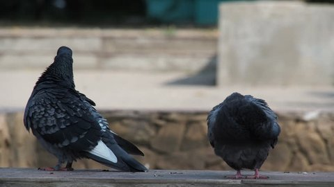 Pigeons in a city, flock of birds