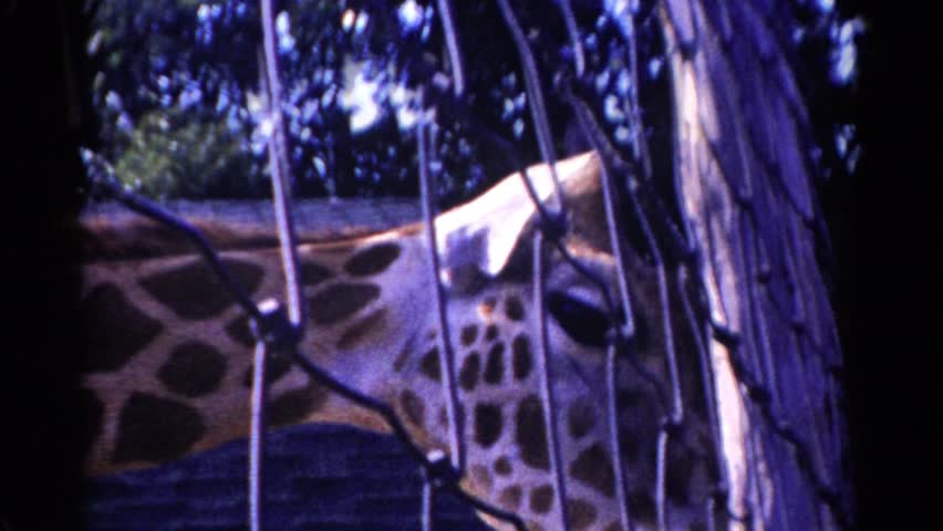 CATSKILL GAME FARM, NEW YORK 1959: a giraffe in a zoo trying to smell something #20136475