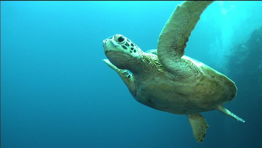 Green sea turtle swimming against to my camera - PERFECT SHOT!