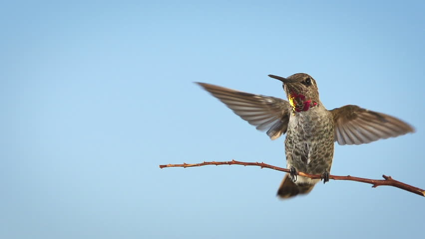 Hummingbird landing and taking off from a branch. Shot with a high-speed camera. | Shutterstock HD Video #20188414