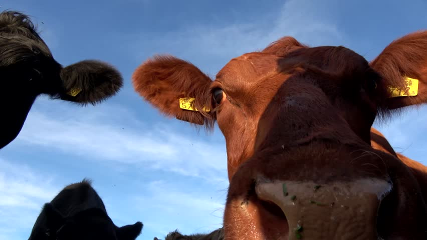 Low angle footage of some Aberdeen Angus cows one eating an apple the other ones checking out the surroundings and the camera beautiful crisp blue sky and friendly animals black and brown color 4k