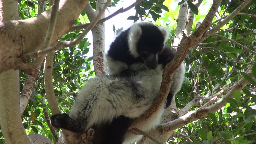 Lemur scratching on a branch | Shutterstock HD Video #20229826