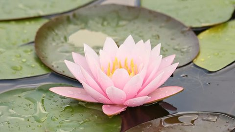 Pink lotus in the pond.