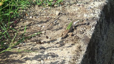 Green lizard crawling on a stone surface