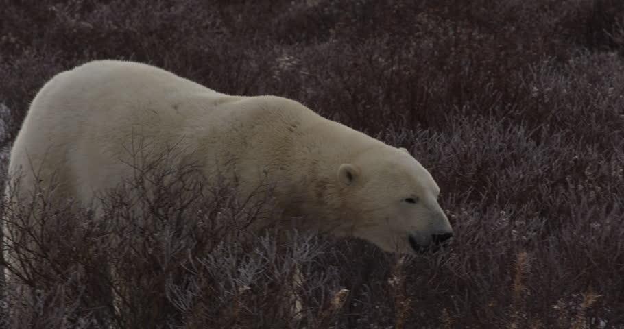 Polar bear wanders through wind blown arctic willows in fall