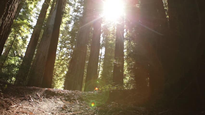 Sun breaking through pine trees | Shutterstock HD Video #2031496