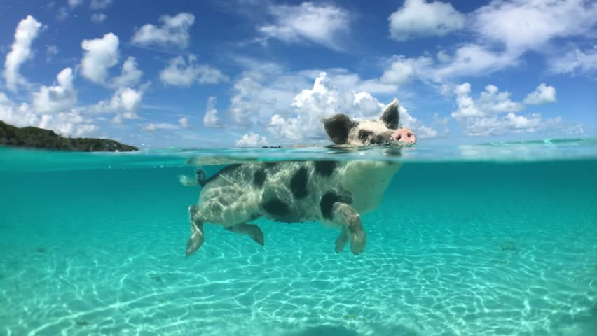 Wild, swimming piglet on Big Majors Cay in Bahamas Royalty-Free Stock Footage #20315884