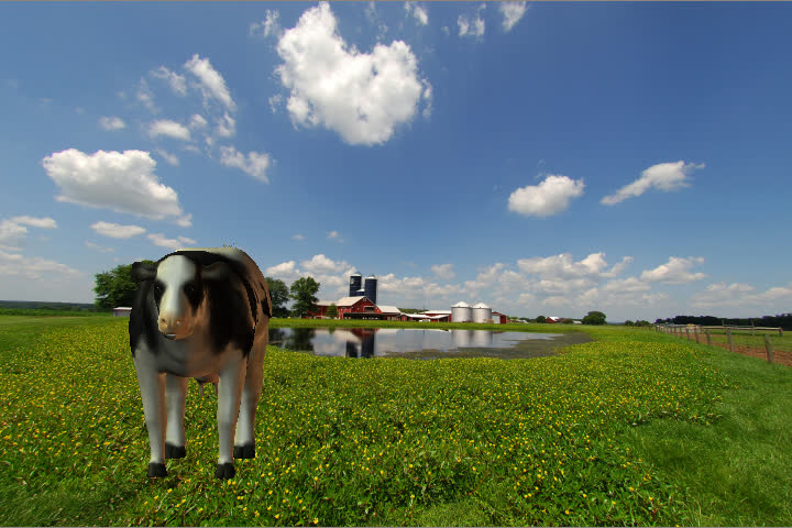 animated Holstein black and white cow moos and chews her cud on a transparent background (no audio)