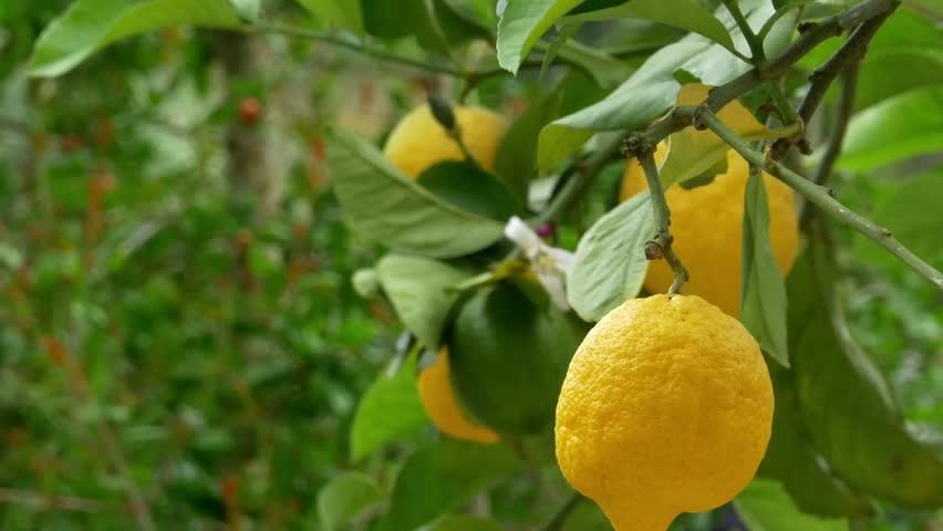 освежающий лимоны крупные на ветке фото хозяин садовод