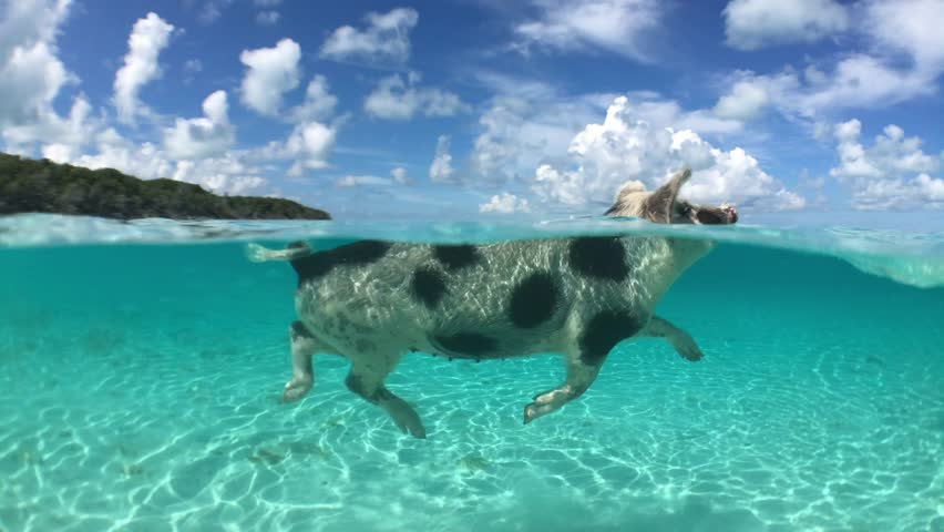 Wild, swimming piglet on Big Majors Cay in Bahamas | Shutterstock HD Video #20492554