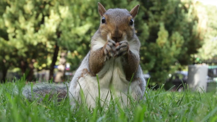 A short clip of a hungry squirrel eating an acorn from a close up and low angled perspective. It was shot in Boston Public Garden in the United States using a 50 mm lens.