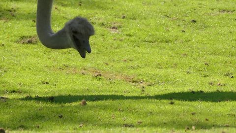 Ostrich or common ostrich (Struthio camelus) is either one or two species of large flightless birds native to Africa, only living member of genus Struthio, which is in ratite family.