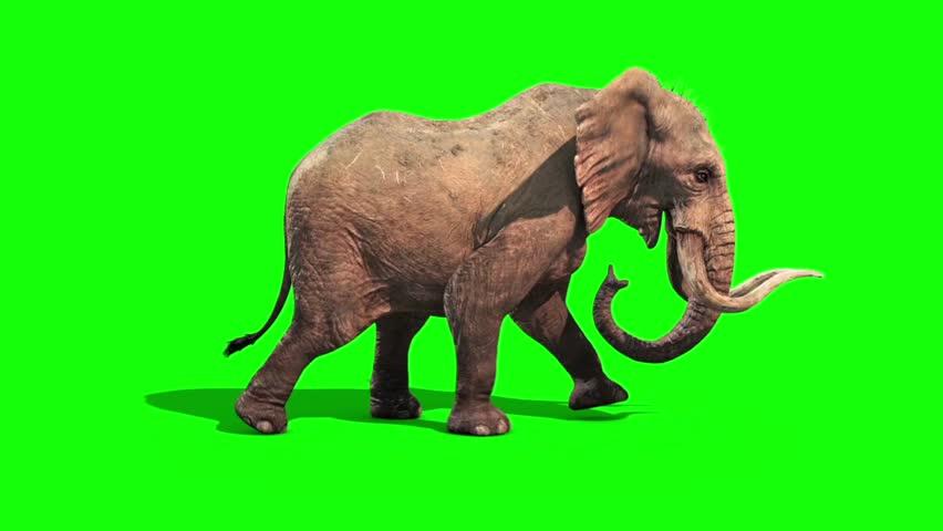 Elephant Walks Static Side Green Screen