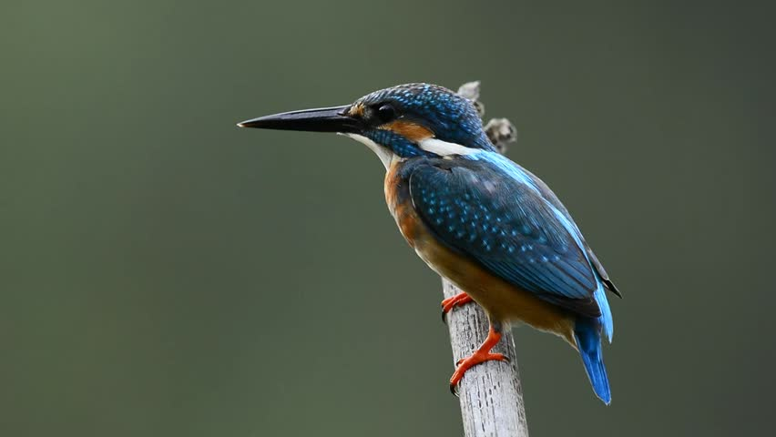 Common Kingfisher the beautiful blue bird jump off the perch for fishing | Shutterstock HD Video #20591146