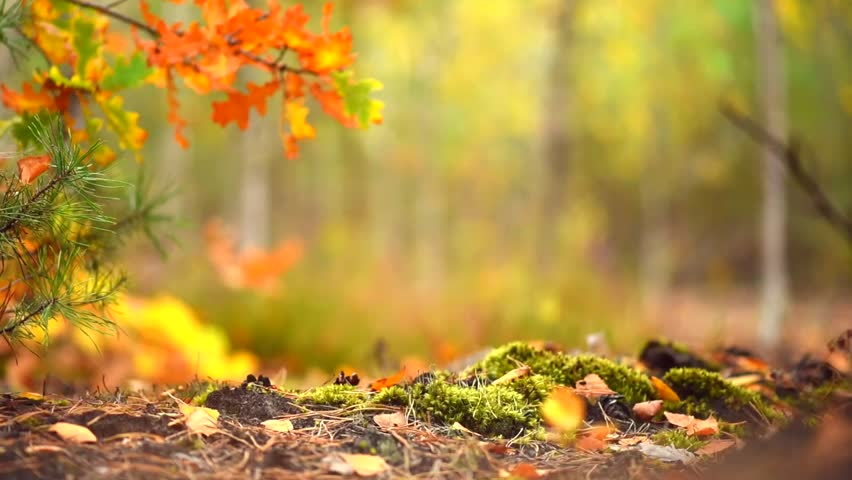 Autumn Sunny Forest Background. Park. Stock Footage Video (100% Royalty-free) 20608981