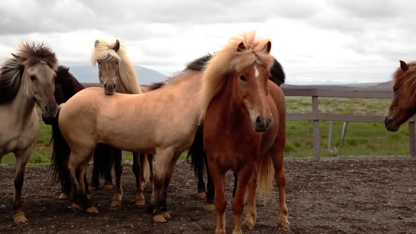 Brown horses standing in a fold on Iceland | Shutterstock HD Video #20615881