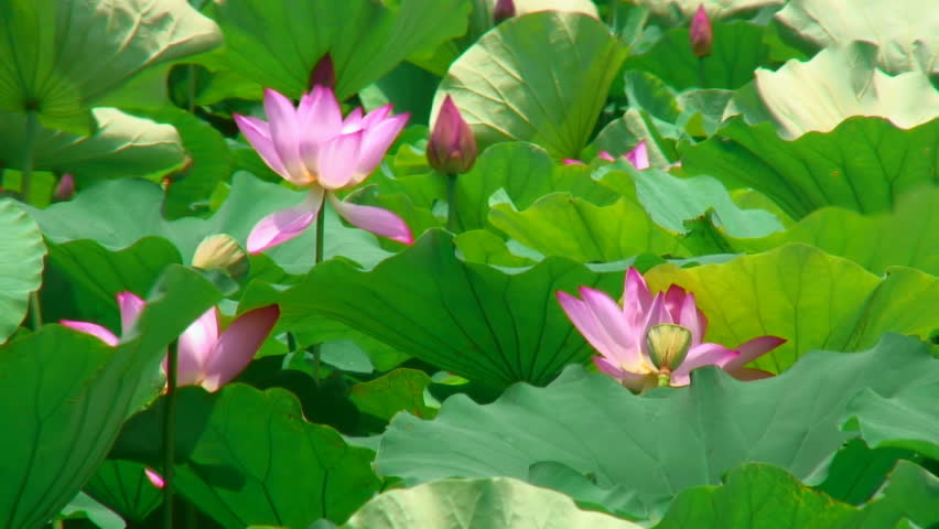 Pink lotuses in gentle wind