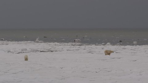 Wide of two polar bears on frozen ice of arctic coast on cloudy day