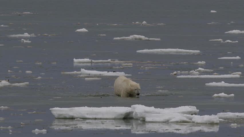 Polar bear wades through sea towards coast through broken ice