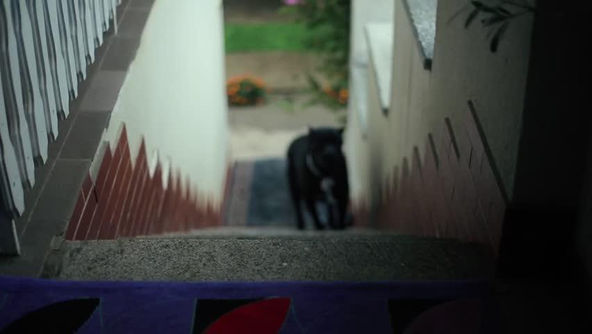 Header of American Pit Bull Terrier