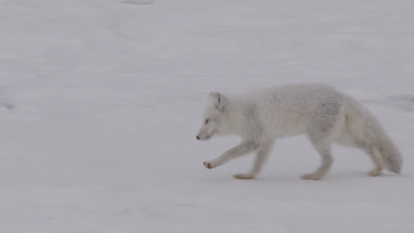 Tracking shot white arctic fox running across rocks in snow