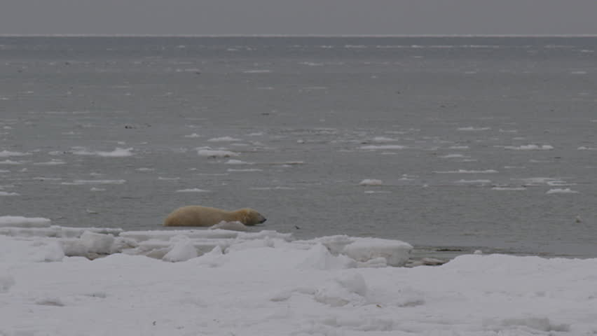 Polar bear wades slowly out into arctic sea through ice and chop
