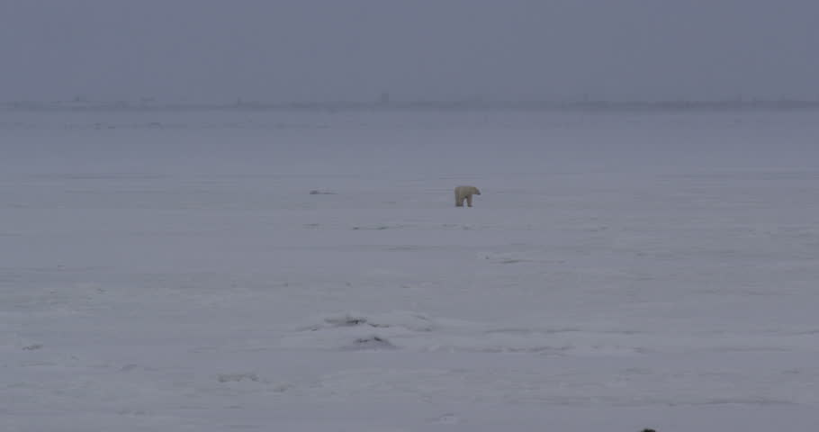 Lone polar bear walks over ice through storm towards camera