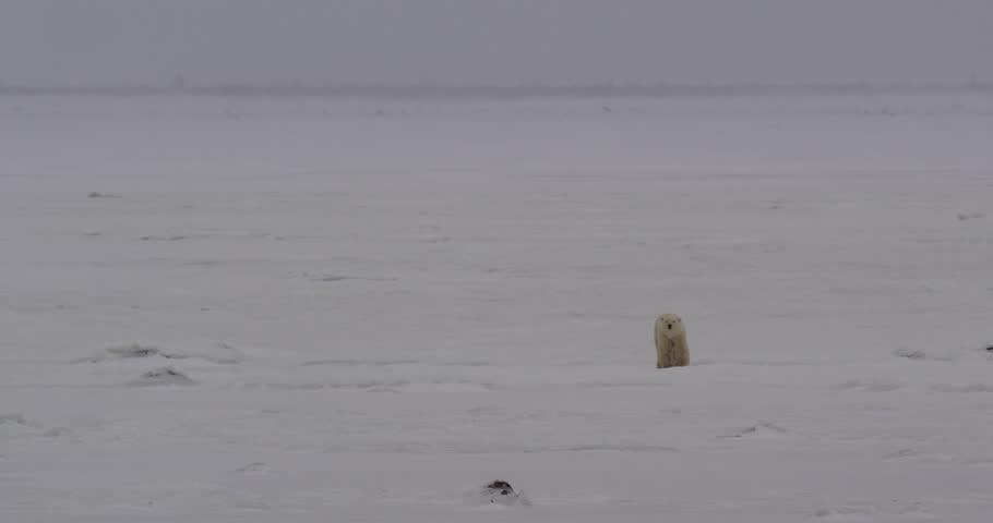 Polar bear walks through snow over ice at camera