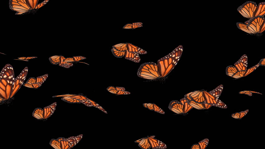 Monarch Butterfly Swarm (HD).This is a complex animation made with hi res animated to resemble flying realistic butterflies.Wings flutter but bend as they stroke as if the wind was moving them