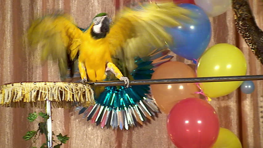 Trained circus parrot.