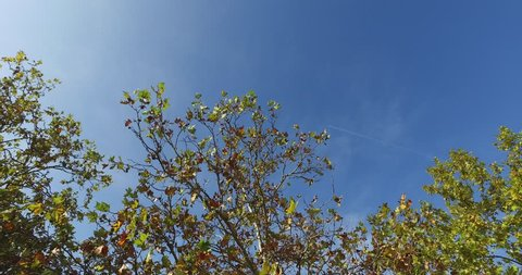 Autumn trees with blue sky and airplane traces in 4k