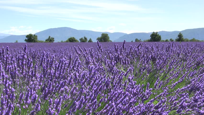 Lavender flower field with mountains. Provence.   Shutterstock HD Video #2080943