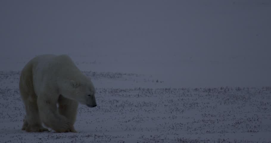 Polar bear walks through dusk light gets closer over snow
