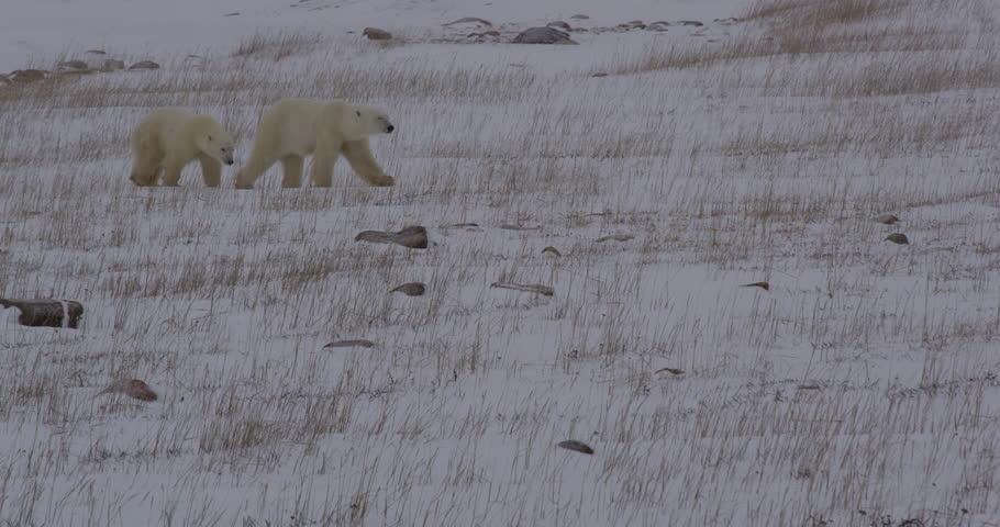 Polar bear cub sticks close to mum walking through snowy grass