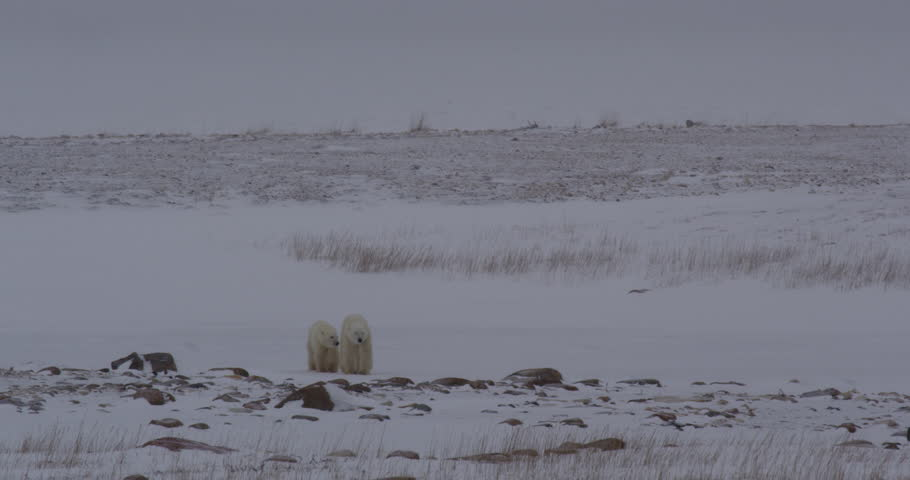 Polar bear and juvenile walk through snowy boulders in arctic