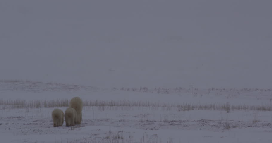 Polar bear family walks away through falling snow in tundra