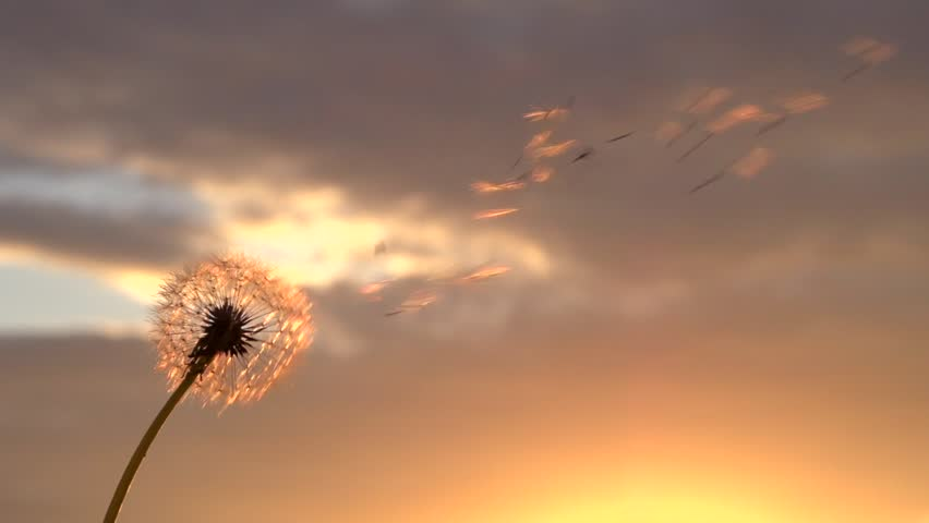 Dandelion. The wind blows away dandelion seeds in the setting sun.  Slow motion 240 fps. High speed camera shot. Full HD 1080p.