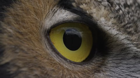 Horned Owl side profile macro of face and eye