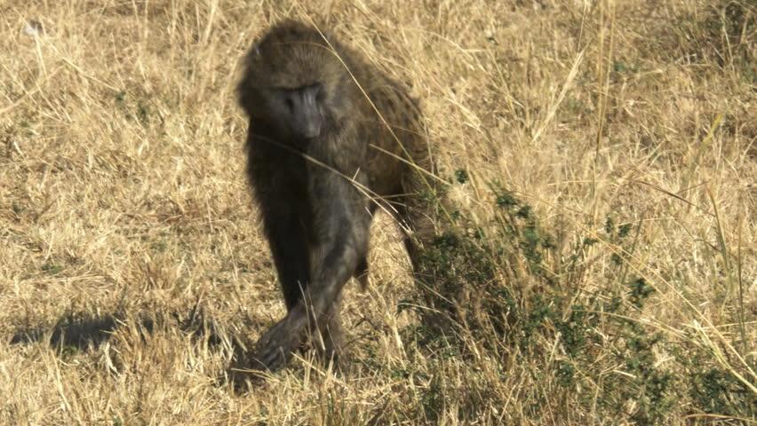 feeding olive baboon in masai mara game reserve, kenya