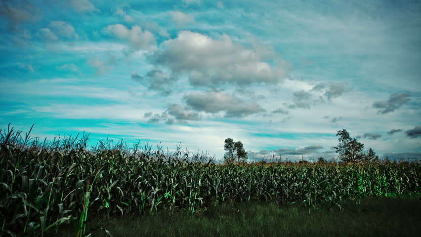 Time lapse in a Corn Field just a bit before the sunset.