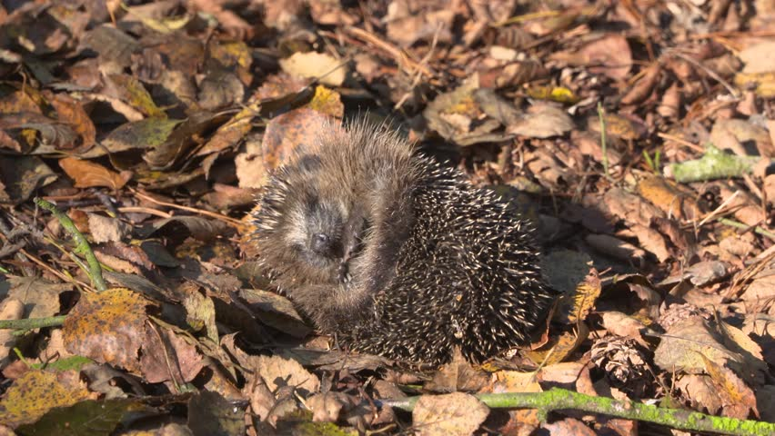 European hedgehog - Erinaceus europaeus - asleep, rolled into a ball, protecting itself against potential predators with its spines.