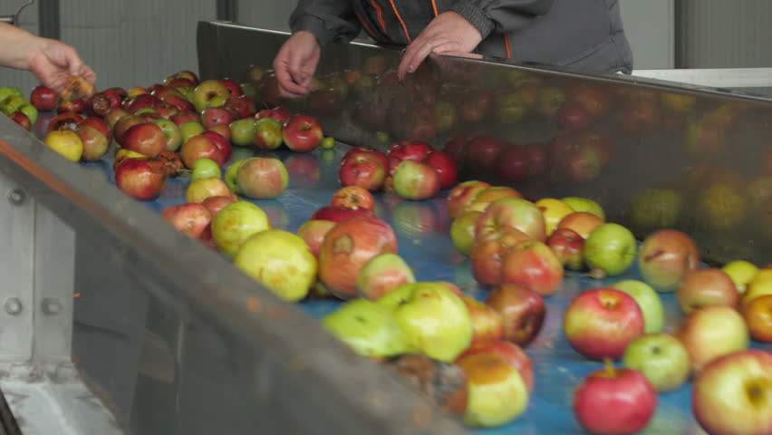 Hands of workers close up while they separated peduncles and dirt, fresh apples passing on the conveyor belt in the factory for industrial juice production, fruits close up, indoors.   Shutterstock HD Video #20993650