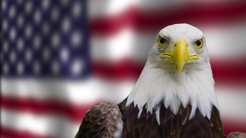 Bald eagle looking into negative space on american flag angled   #21077620