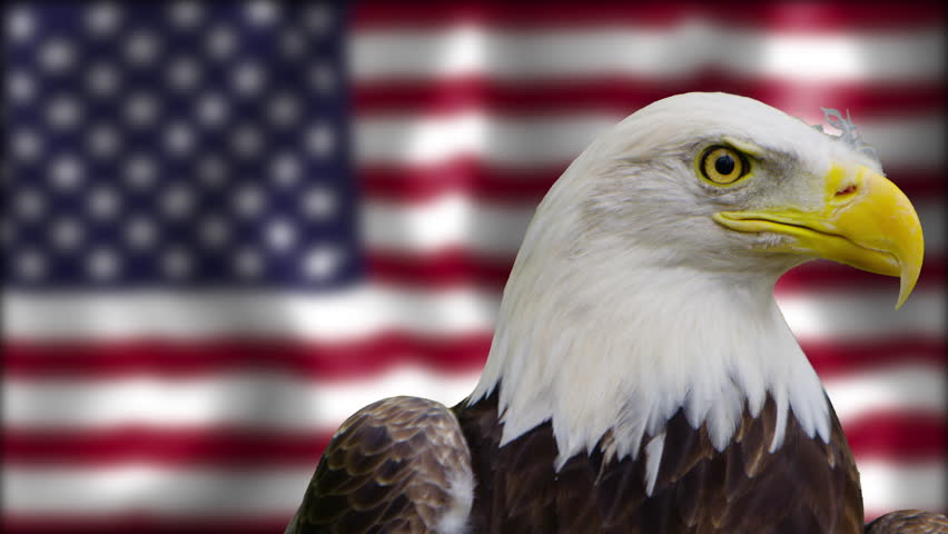 [Bald Eagle Staring at the Camera in front of American Flag]Bald Eagle Staring at the Camera in front of American Flag #21079474